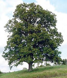 tasmanian arboretum oaks